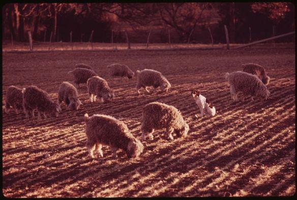 Dog, sheep in field
